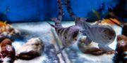Arkivbild på annan hajart.  MAJA SUSLIN / TT / TT NYHETSBYRÅN