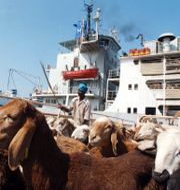 Arkivbild (2005), får skeppas från Saudiarabien. AMR NABIL / TT NYHETSBYRÅN
