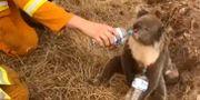 Koala som tas om hand under bränderna i Australien. TT NYHETSBYRÅN