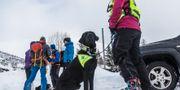Lavinhund är redo att ge sig ut i sökandet efter överlevande efter flera laviner i norska Lofoten. Eric Fokke / TT NYHETSBYRÅN