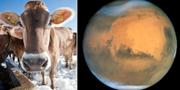 Kor släpper ut stora mängder metan på jorden/Mars i rymden. TT