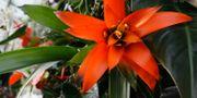 Tropiska växter i Kew Gardens, London. Kirsty Wigglesworth / TT NYHETSBYRÅN