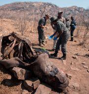 En noshörningskadaver i Sydafrika. WIKUS DE WET / AFP