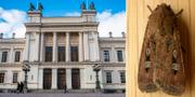 Lunds universitetshus och en bogongfjäril. TT/Wikipedia.