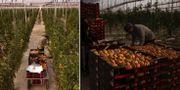 Arkivbilder från växthusen i Almería. TT.