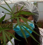 Cannabisplanta i ett växthus i Hennops, Sydafrika. Denis Farrell / TT NYHETSBYRÅN
