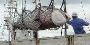 Japansk valfångst. Arkivbild. TT / NTB Scanpix