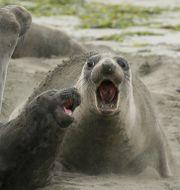 Nordliga sjöelefanter. Eric Risberg / TT NYHETSBYRÅN