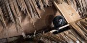 Goeldisapan Abuna försvann i slutet på augusti.  Björn Larsson Rosvall/TT / TT NYHETSBYRÅN