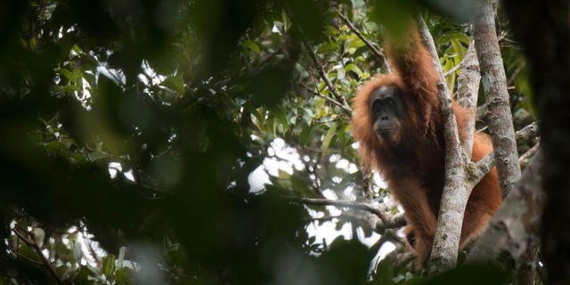 En orangutang i arten Tapanuli. Jonas Landolt / TT / NTB Scanpix