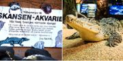 Kubakrokodil på Skansenakvariet. Arkivbilder TT