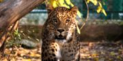 Leopard.  Mukhtar Khan / TT NYHETSBYRÅN/ NTB Scanpix