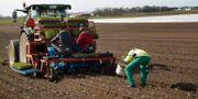 Spenatplantering på gård utanför Vellinge/Illustrationsbild. Andreas Hillergren / TT NYHETSBYRÅN