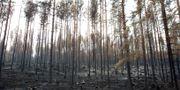 Brandskadad skog längs med vägen mellan Kårböle och Lassekrog i Gävleborg Pernilla Wahlman/TT / TT NYHETSBYRÅN