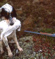 Hund under ripjakt. Ruud, Vidar / TT NYHETSBYRÅN