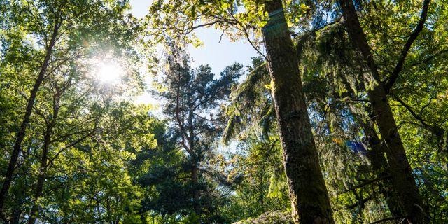 Träd i en skog. Illustrationsbild. Lars Pehrson/SvD/TT / TT NYHETSBYRÅN