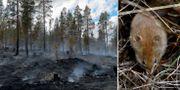 En av skogsbränderna/en sork. TT