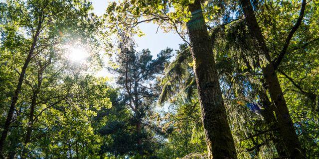 Skog i Stockholm. Lars Pehrson/SvD/TT / TT NYHETSBYRÅN