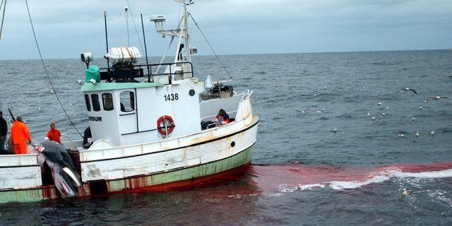 Arkivbild från valjakt utanför Island 2003. ADAM BUTLER / TT / NTB Scanpix