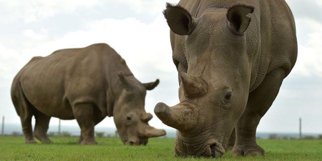 De enda två kvarlevande nordliga vita noshörningarna Najin och Fatu. TONY KARUMBA / AFP