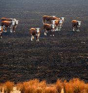 Skogsbränderna  i Australien påverkade nära trew miljarder djur. Andrew Brownbill / TT NYHETSBYRÅN