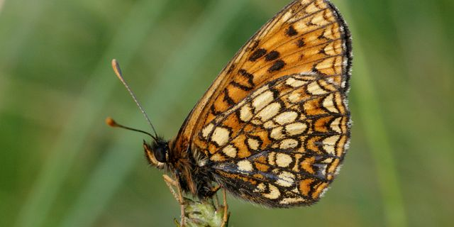 Veronikanätfjäril, Melitaea britomartis kulacgmx.at., CC BY-SA 3.0