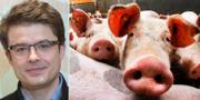 Forskaren Nenad Sestan/bild från grisar. Yale university/TT