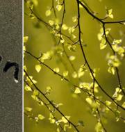Pollen. TT