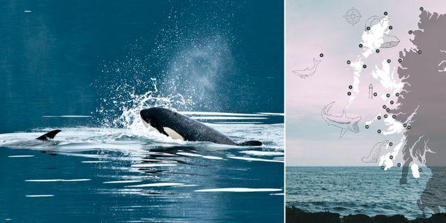 Bland annat den märkliga brugden går att se utanför Skottland. Hebridean Whale & Dolphine Trust/Marc Cappelletti