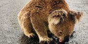 En koala passar på att dricka lite vatten efter regnvädret i Moree i New South Wales. Social Media / TT NYHETSBYRÅN