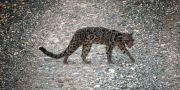 Träleopardarten Neofelis diardi.  STRINGER / TT NYHETSBYRÅN