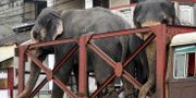 Elefanter i Sri Lankas huvudstad Colombo. LAKRUWAN WANNIARACHCHI / AFP