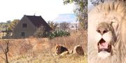 """Gäster som bokar en natt på """"Lion House"""" i Sydafrika måste bli eskorterade in och ut. Airbnb/@ggconservation"""