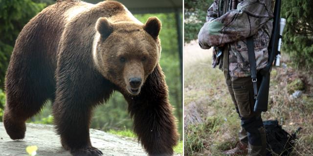 Illustrationsbilder, björn i fångenskap, jägare. TT