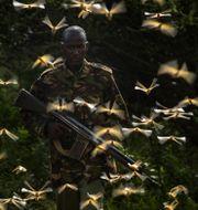 Soldat omringad av gräshoppor i Kenya. Ben Curtis / TT NYHETSBYRÅN