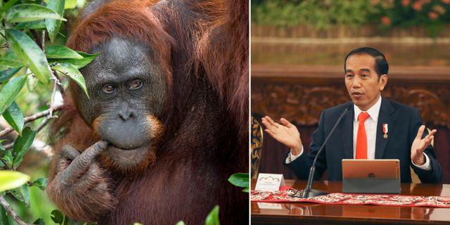 På en presskonferens den 26 augusti meddelande Indonesiens president, Joko Widodo, att han vill flytta landets huvudstad till Borneo. TT/Marc Veraart