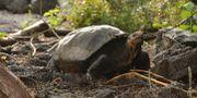 Bild på sköldpaddan från Galapagos nationalpark.  Andres Morales / TT NYHETSBYRÅN