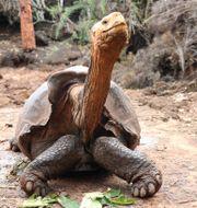 Sköldpaddan Diego. TT NYHETSBYRÅN