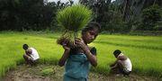 Indisk kvinna arbetar på ett fält. Kvinnan på bilden har ingen koppling till artikeln.  TT