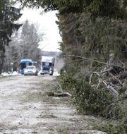 Ett träd har blåst ner över elledningar i Stockholm. Christine Olsson/TT / TT NYHETSBYRÅN