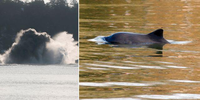 Illustrationsbilder. Tumlaren har fotats utanför USA:s östkust och är inte någon Östersjötumlare. TT