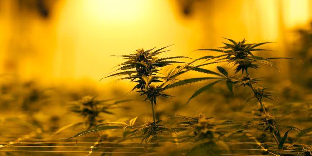 Marijuanaplanta i den amerikanska delstaten Louisiana. Gerald Herbert / TT NYHETSBYRÅN/ NTB Scanpix
