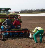 Plantering av spenat i Vellinge.  Andreas Hillergren / TT NYHETSBYRÅN