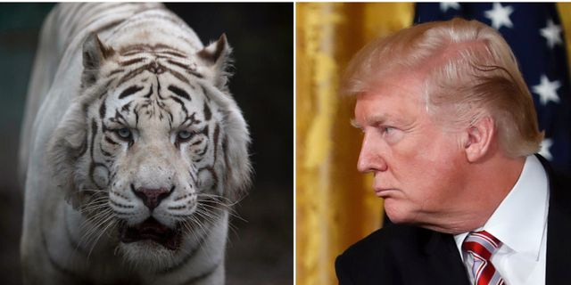 Vit tiger, Trump. Arkivbilder. TT