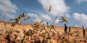 Hoppade gräshoppor i Somalia. Ben Curtis / TT NYHETSBYRÅN