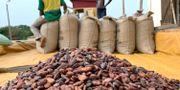 Kakaoodling i Ghana.  Ange Aboa / TT NYHETSBYRÅN