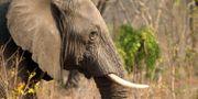 Elefant i Zimbabwe. Tsvangirayi Mukwazhi / TT NYHETSBYRÅN
