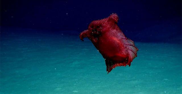 """Det """"huvudlösa kycklingmonstret"""". NOAA"""