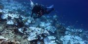 Korallblekning i Stilla havet. Illustrationsbild. Bernardo Vargas-Angel / TT NYHETSBYRÅN