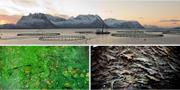 Arkivbilder: Laxodling i Nordnorge, algblomning och stim av odlad lax.  TT